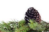 Green Pine branch — Stock Photo