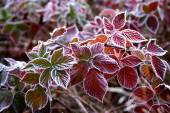 Purple Frozen leaves — Stock Photo
