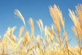 Barley Wheat Field — Stock Photo
