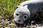 Baby fur seal resting with open eyes on grass — Stock Photo