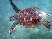 Hawaiian Sea Turtle swims above coral rocks the waters of Waikik — Stockfoto
