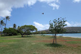 Pidgin flying in the air at Maunalua Bay Beach Park full of tree — Stock fotografie