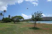 Pidgin flying in the air at Maunalua Bay Beach Park full of tree — Foto de Stock