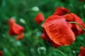 Wet poppy — Stock Photo