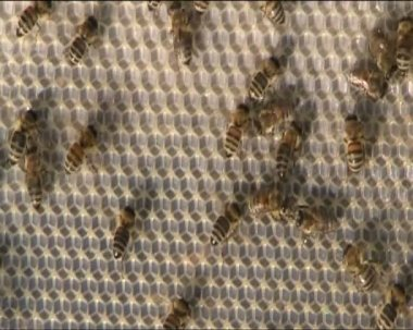 Bees ventilate — Stock Video