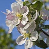 Flowers apple beautiful sight. — Stock Photo