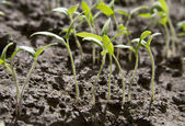 Seedlings of tomatoes. — Stock Photo