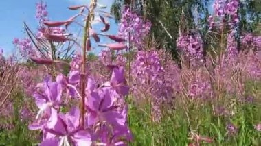 Blooming fireweed and bees. — Stock Video