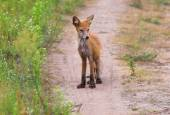 The red fox — Stock Photo