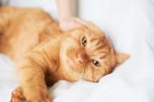 Female hand caress cat — Stock Photo