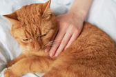 Female hand caress cat — Stock Photo