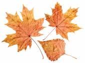 Plane tree leaf — Stock Photo