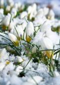 White flowers covered with snow — Stock Photo