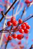Red viburnum berries on a branch — Stock Photo