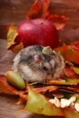 Little hamster in autumn scenery  — Stock Photo