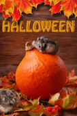 Two hamsters in autumn scenery for halloween — Stock Photo