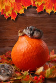 Two hamsters in autumn scenery — Stock Photo