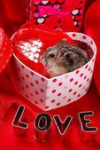 Hamster for valentine — Stock Photo