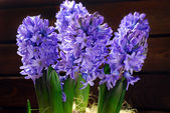 Fresh hyacinth flowers — Stock Photo