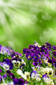 Field of colorful pansies with green background — Stock Photo