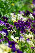 Field of colorful pansies — Stock Photo