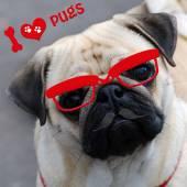 I love pugs with funny dog — Stock Photo