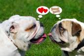 Two cute english bulldogs and their thoughts — Stock Photo