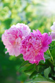 Pink peony in the garden — Stock Photo