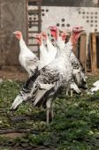 Turkey bird in farmyard — Stock Photo