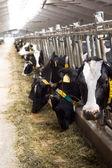 Cows on farm. — Stock Photo
