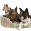 Three dogs sharing pet bed — Stock Photo #53486499
