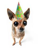 Chihuahua with birthday hat — Stock Photo