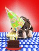 Boston terrier with cake — Stock Photo
