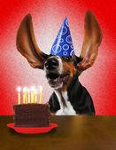Basset in birthday hat near cake — Stock Photo