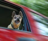 Mezcla de chihuahua en un vehículo rojo — Foto de Stock
