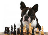 Boston terrier playing a game of chess — Stock Photo