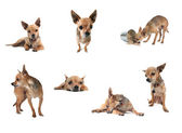 Chihuahuas in group on white — Foto Stock