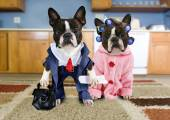 Boston terriers dressed as an old couple — Stock Photo