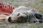 Frozen deer carcass — Stockfoto