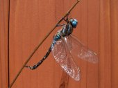 Dragonfly clinging to tree branch — Stock Photo