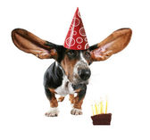 Basset with big ears and cake — Stock Photo