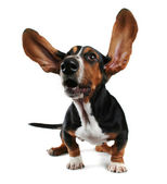Basset with long flapping ears — Stock Photo