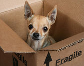 Tiny chihuahua in a box — ストック写真