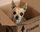 Chihuahua in a box marked fragile — Stock Photo