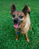 Pie de perro en el césped jadeando — Foto de Stock