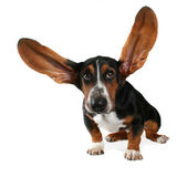 Basset with long flying ears — Stock Photo