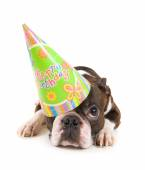 Boston terrier con cappello compleanno — Foto Stock