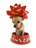 Chihuahua sitting in big bowl — Stock Photo