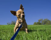 Chihuahua on grassy hill — Foto Stock