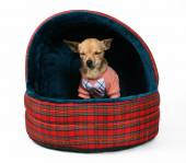 Chihuahua sitting in pet bed — Stock Photo
